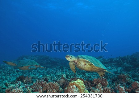 Sea Turtles swimming at Hawaii Coral Reef - stock photo