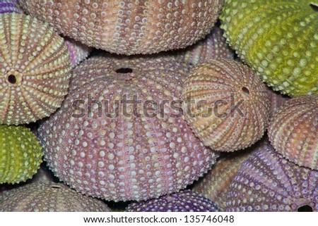 Sea urchin - stock photo