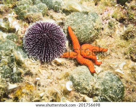Sea Urchin and Starfish on the sea bed - stock photo