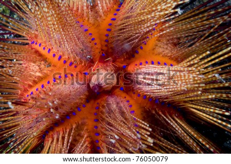 Sea urchin astropyga sp - stock photo