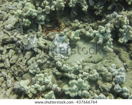 Sea urchin at the bottom of sea in coral - stock photo