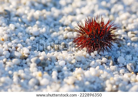 Sea urchin on a beach with natural white marble stones texture - stock photo