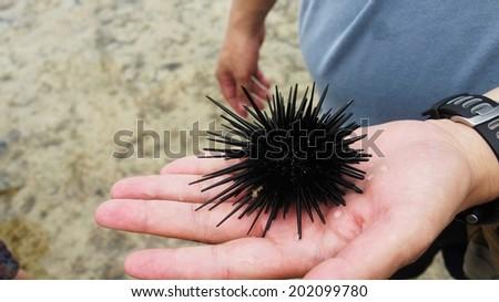 sea urchin on hand - stock photo