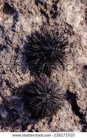 Sea Urchin on Rock Near Ocean Background - stock photo