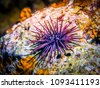 sea urchin on rock. sea urchin...