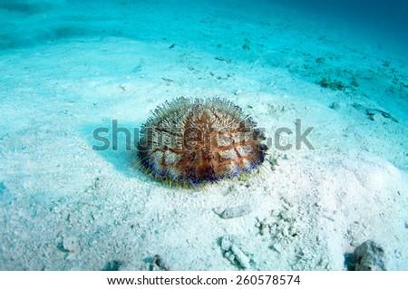 Sea urchin (Uni), Coron , Palawan,  Philippines. - stock photo