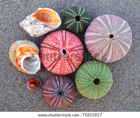 sea urchins and shells, natural background - stock photo