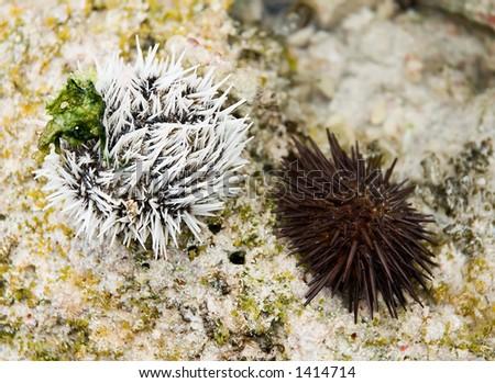 Sea Urchins, Echinometra, Tripneustes Ventricosus - stock photo