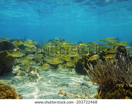 Seabed with shoal of grunt fish in a coral reef of the Caribbean sea - stock photo