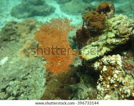Seafan under the sea at Maiton island Thailand. - stock photo