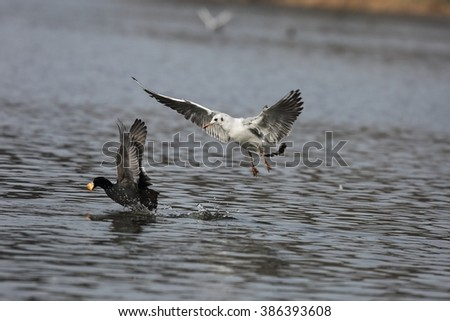 Seagull and Eurasian coot - the fight for food. - stock photo