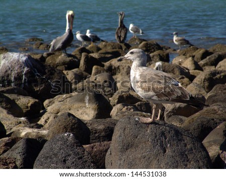 Seagull and pelicans on rocks on mexico's beach - stock photo