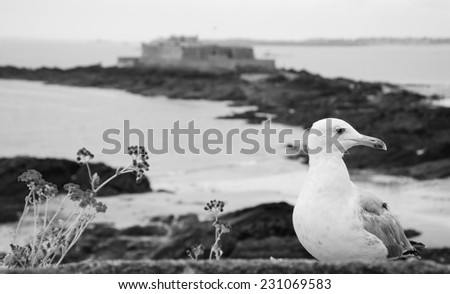 Seagull and wild flowers on the ramparts of Saint Malo and the view on Fort National (on a tidal island). Brittany, France. Selective focus on the gull. Aged photo. Black and white.