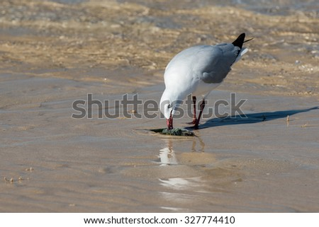 Seagull catching fish on crystal water in Australia coral bay beach