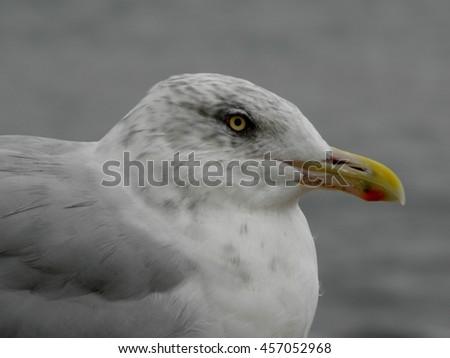 Seagull close-up  - stock photo