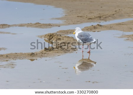 seagull drinking water on the beach in canon beach,Oregon,USA. - stock photo