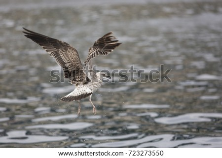 seagull fishing in the mediterranean sea