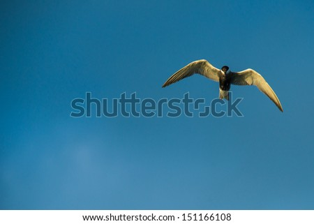Seagull flying action on blue sky  - stock photo