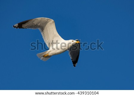 Seagull flying / Bird flying on a sunny day / Bird flying in the clear blue sky - stock photo