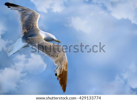 Seagull flying closeup
