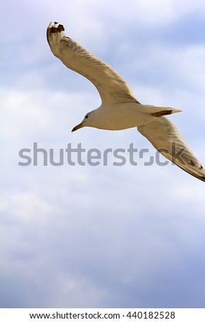 Seagull flying in beautiful sky.One flying in clear blue sky white seagull bird with big wings sunny day outdoor on natural background horizontal picture - stock photo