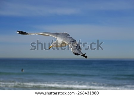 Seagull flying on the hermosa beach, California, USA  - stock photo