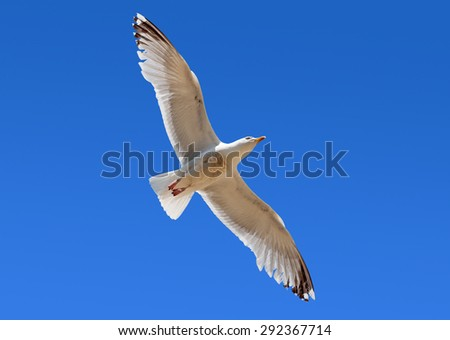 Seagull flying overhead in blue sky. - stock photo