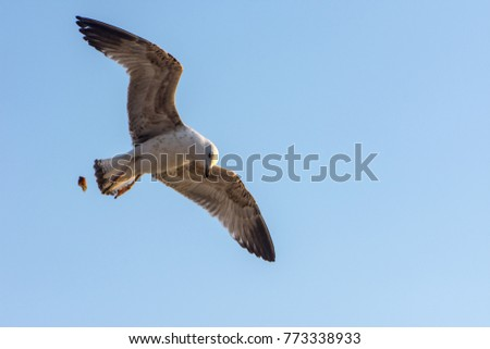 seagull flying with a bread crumbs in its beak  high in the sky