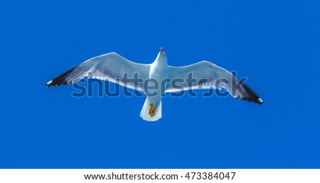 Seagull following boat near Athos Peninsula, Mount Athos, Chalkidiki, Greece