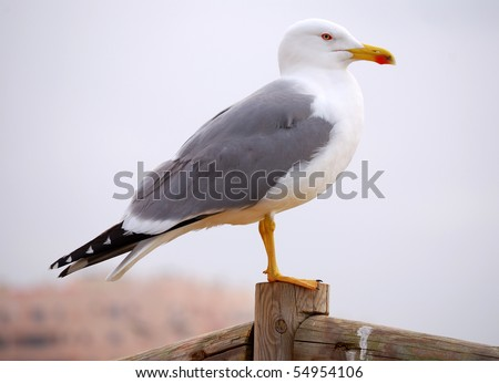 Seagull from Algarve beach (Portugal). Seagull is a specific marine bird. - stock photo