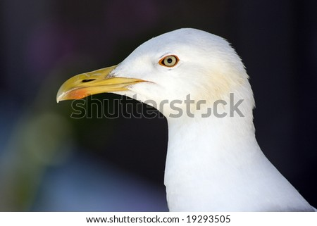 Seagull -head detail - stock photo