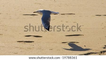 Seagull in flight - stock photo