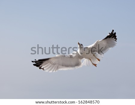 seagull in flight against the blue sky - stock photo