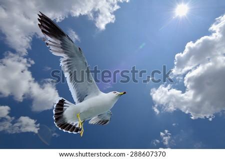 Seagull in flight under the sun - stock photo