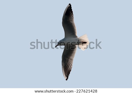 seagull in flight with wings spread - stock photo
