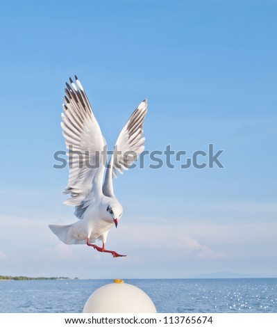 seagull in flying action with full wings spanned - stock photo
