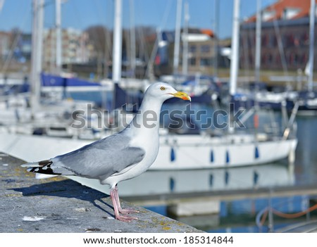 Seagull in marina on front of leisure boats - stock photo