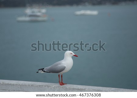 Seagull in Paihia, New Zealand