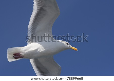 Seagull in Summer - Larus argentatus in front of a blue Summer Sky - stock photo