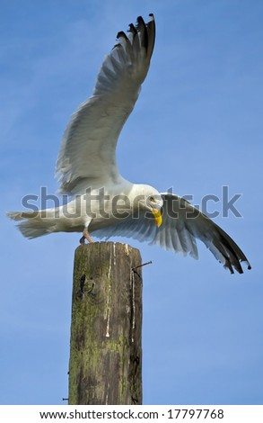 Seagull in the process of landing on wooden pillar.