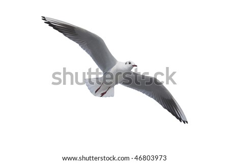 seagull isolated on the white background - stock photo