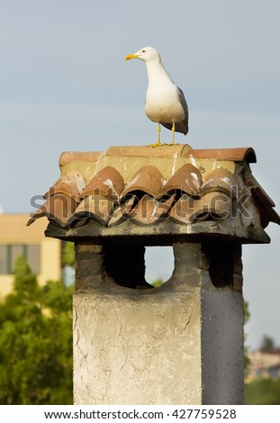 Seagull lon pipe on the house roof - stock photo