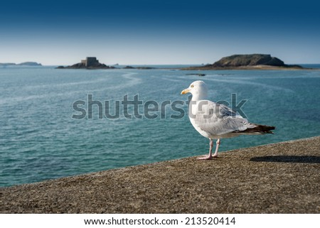 Seagull marching on the city wall surrounding the old town of Saint Malo, Brittany, France - stock photo