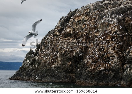 Seagull nesting rock covered with birds at twilight in Alaska - stock photo