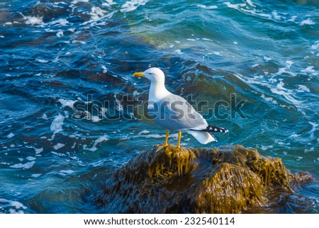 seagull on a marine stone
