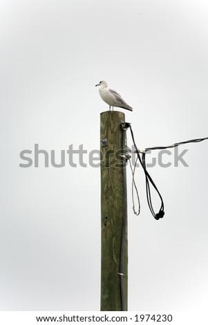 Seagull on a Telephone Pole - stock photo