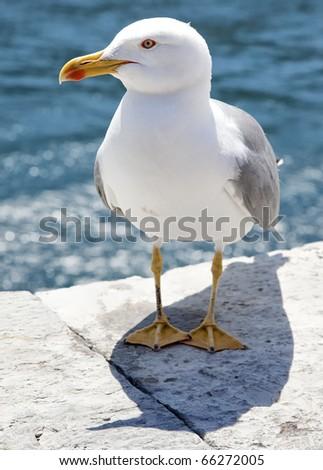 Seagull posing in Portovenere - stock photo