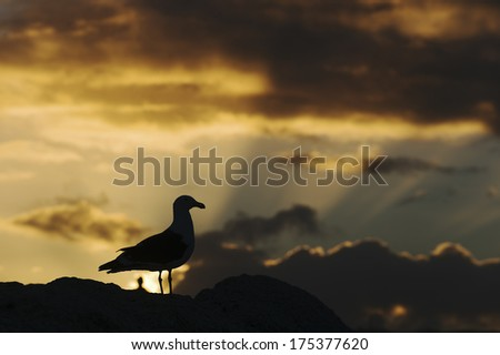 Seagull Silhouette in a putting of the spectacular Sun. Bird in front to Sun. Silhouette in sunset  - stock photo