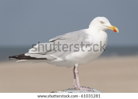Seagull sitting on a pole with a beach in the blurred background