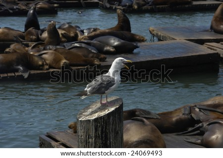 Seagull sitting on logs and shouts at the laying on boards seals
